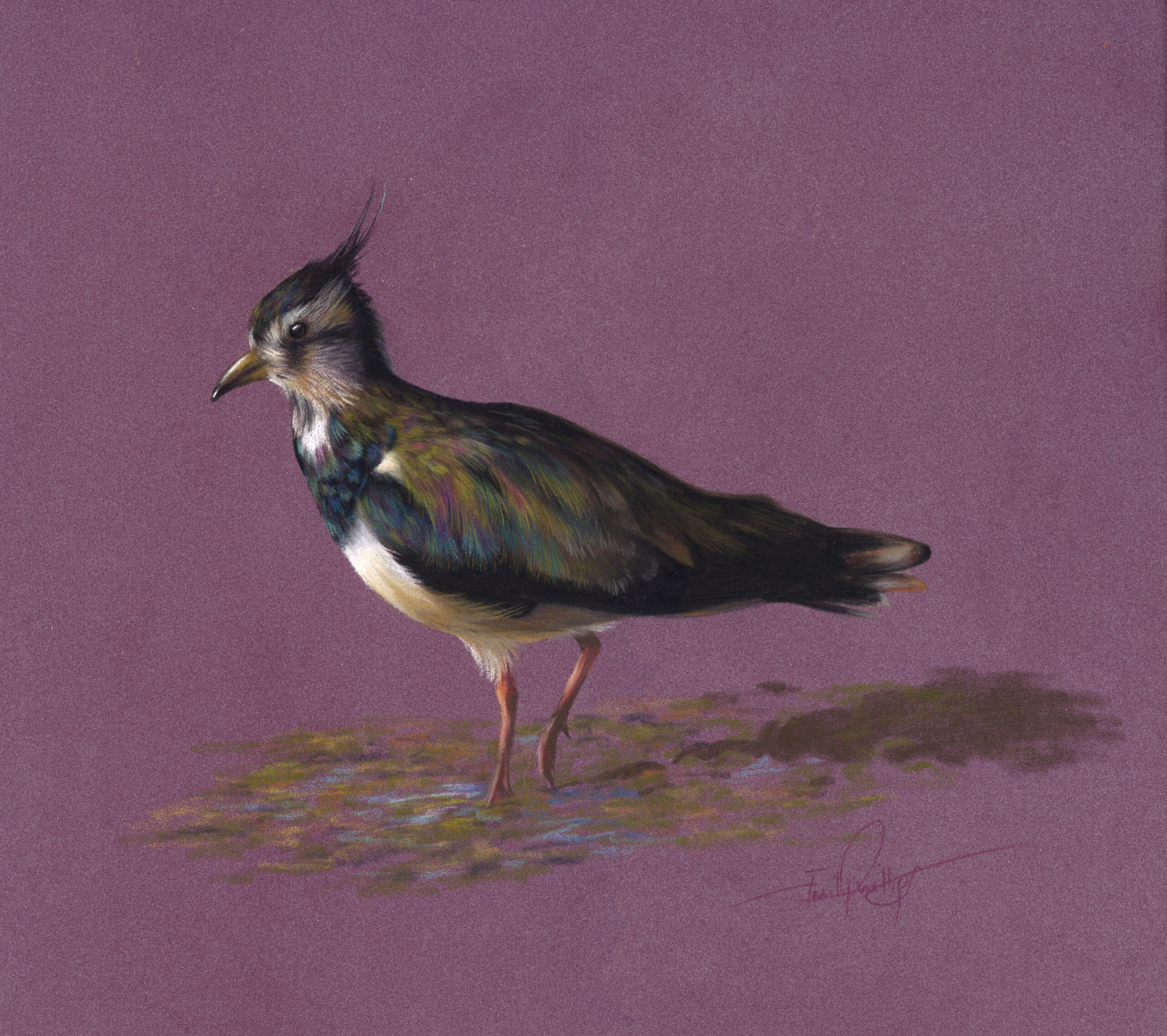 lapwing pastel pencil drawing with desaturated colours and vibrant colours