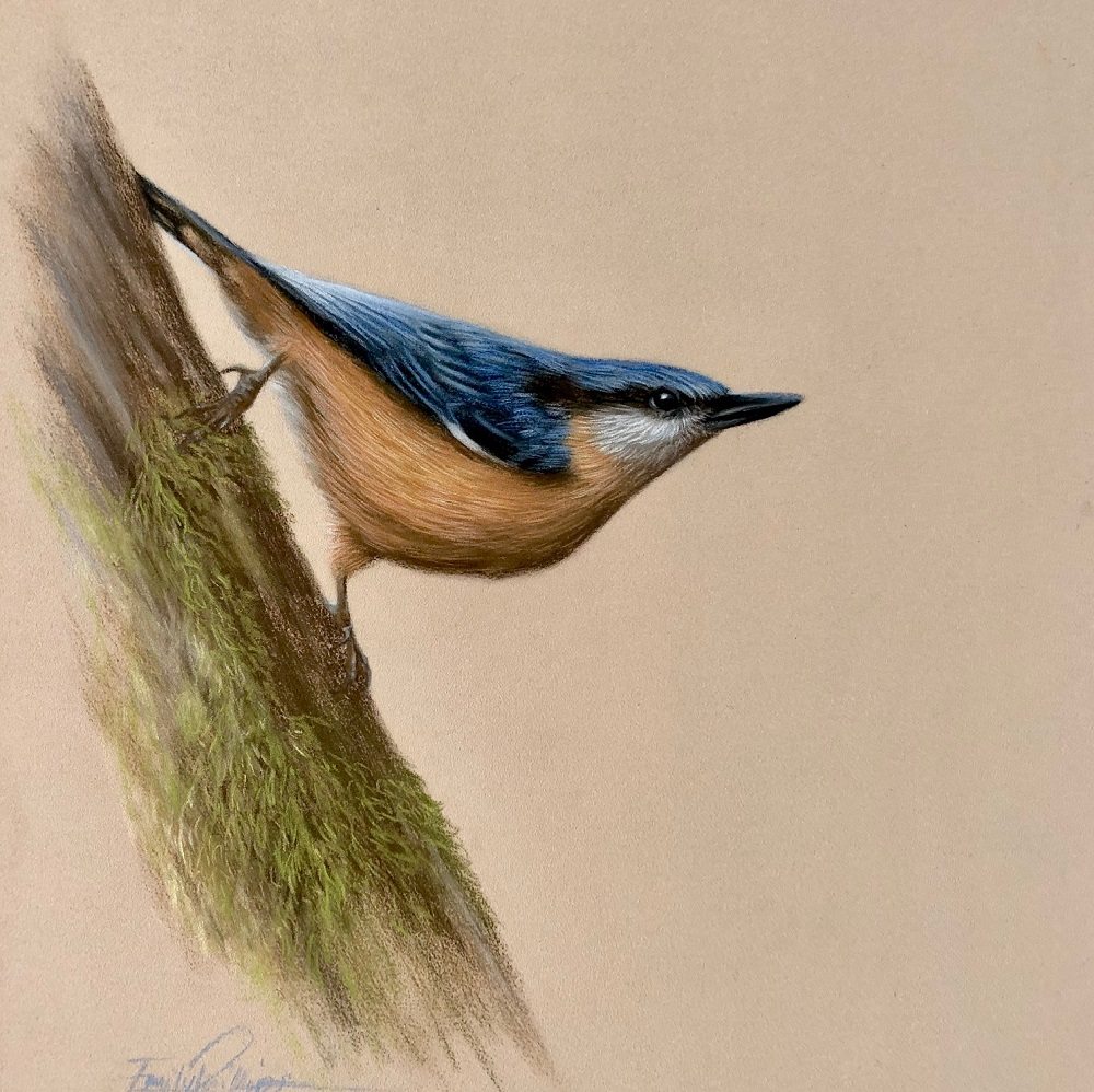 Nuthatch drawing in Pastel pencils